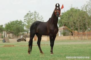 Самые красивые лошади мира 6