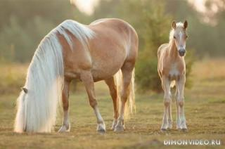 Самые красивые лошади мира 9