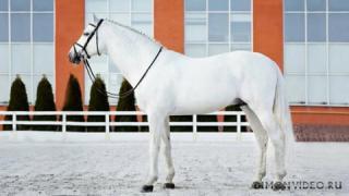 Самые красивые лошади мира 23